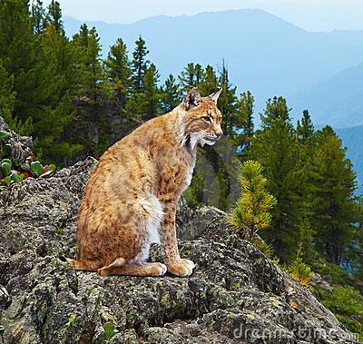 Lynx in wildness area