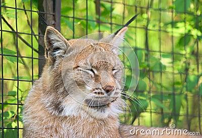 Lynx yawning 1