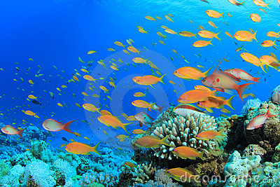 Lyretail Anthias Fish