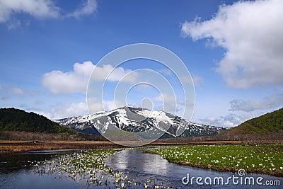 Lysichiton camtschatcense and Mt.Shibutu