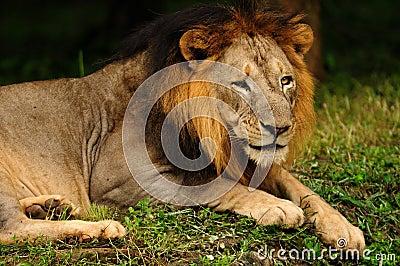 Mâle asiatique de lion