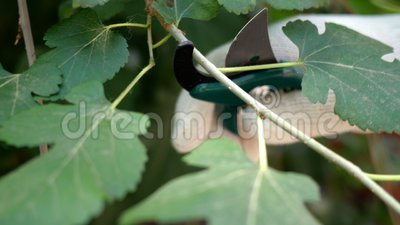 Mão de jardineiro corta galho desnecessário de arbustos ou árvore com um secador. Foco seletivo video estoque