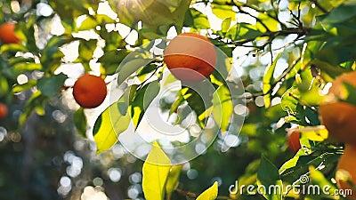 Mão que escolhe uma laranja de uma árvore vídeos de arquivo