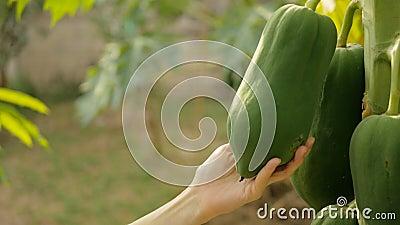 Mão que toca no fruto da papaia