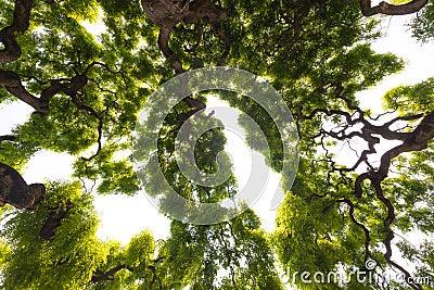 almträd