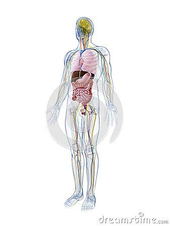 Männliche Anatomie
