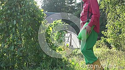 Männliche Anlage der grünen Bohne des Landwirtsprays im Landgartensonnenuntergang 4K stock video footage
