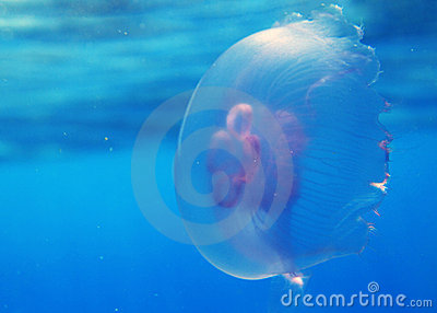 Méduses en Mer Rouge