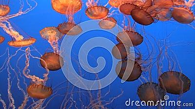 Méduses spectaculaires