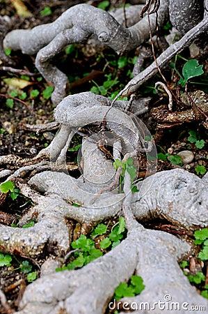 Mönstra av bonsai som treen rotar