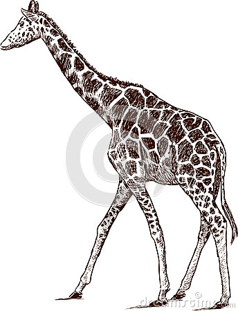Młoda żyrafa