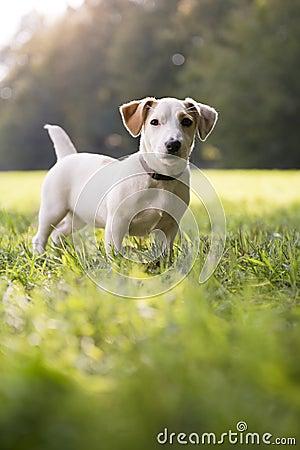 Młoda biały dźwigarka Russell na trawie w parku