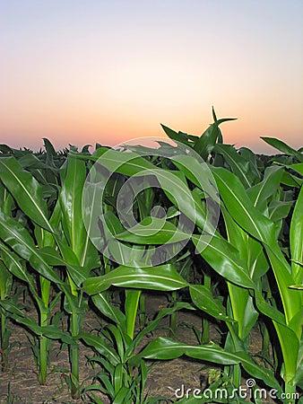 Maïs pendant un â 1 de lever de soleil