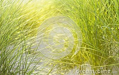 Maïs vert faisant un chemin à l océan