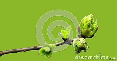 Małe pędy rosnące na gałęzi drzewa, proces kiełkowania, ewolucja, wiosenny pokwit, pestel, kwiat żeński zbiory wideo