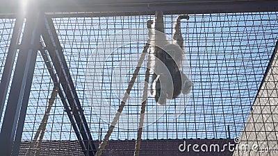 Małpi obwieszenie na dachu klauzura zdjęcie wideo