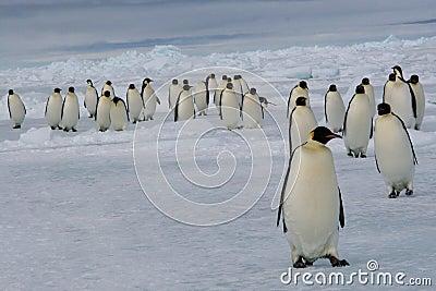 Maart van de pinguïnen van de Keizer