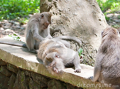 Macaca fascicularis in Sacred Monkey Forest