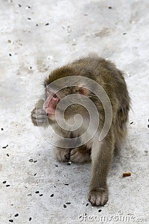 Macaca fuscata grey japanese monkey