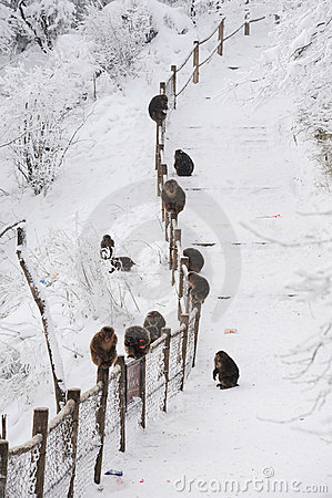 Macaca thibetana at Mt. emei