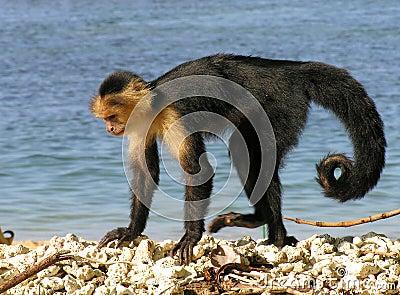 Macaco branco da face