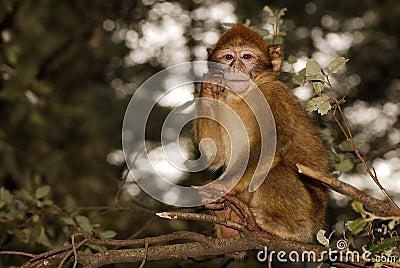 Macaco de Barbary (sylvanus do Macaca) na madeira do cedro próximo