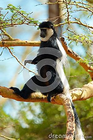Macaco de colobus preto e branco