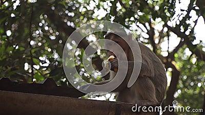 Macaco macho come banana Índia, macaco está sentado no telhado com uma banana video estoque