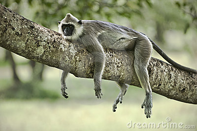 Macaco preguiçoso