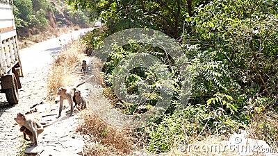 Macacos na Ásia ao lado da estrada pedem comida video estoque