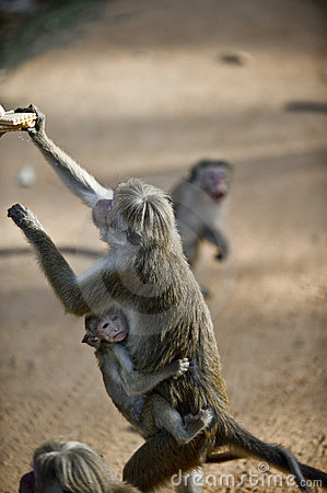 Macaque with a baby