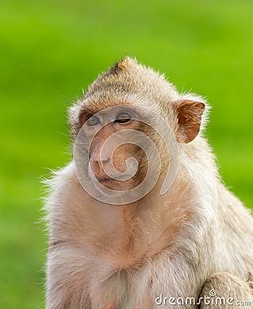 Macaque mongkey closeup