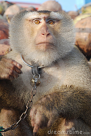 Macaque Monkey Coconut See