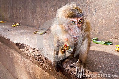 Macaque monkey eating lychee fruit