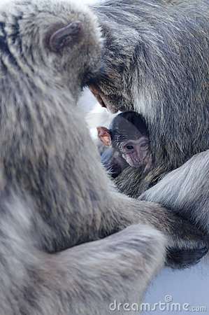Macaque Monkey Family