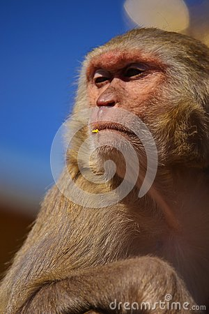 Macaque monkey looking cool Stock Photo