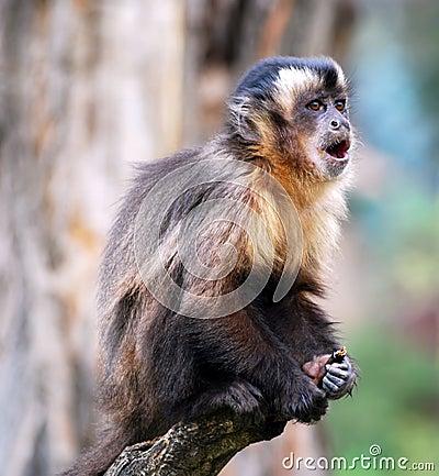 Macaque monkey scream