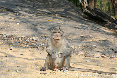 Macaque monkey siting  on the ground and staring