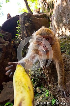 Macaque monkey taking banana