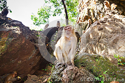 Macaque monkey in Thailand