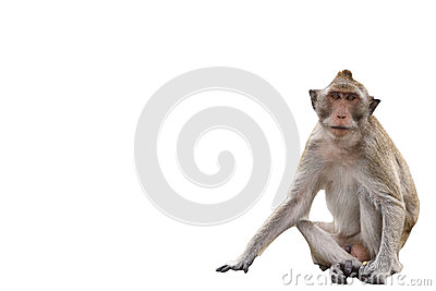 Macaque Monkey on white background