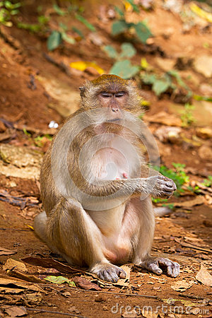 Macaque monkey in widelife