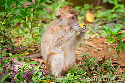 Macaque monkey in the wildlife