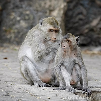 Macaque monkeys grooming