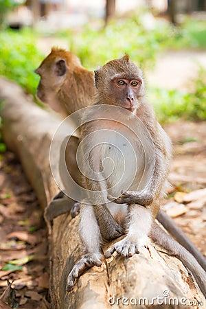 Macaque monkeys in Thailand