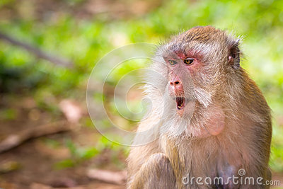 Macaque monkeys in the wildlife