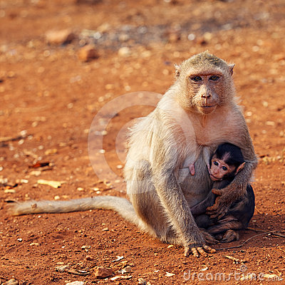 Macaque mother and baby