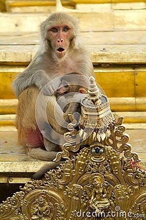 Macaque portrait