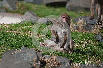 Macaque (Snow) Monkey s