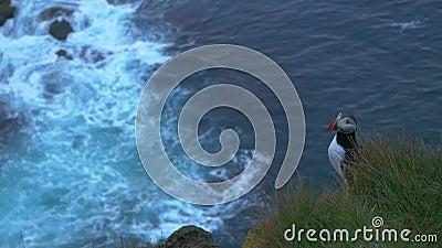Macareux se reposant sur les falaises au point plus à l'ouest de l'Islande et l'Europe clips vidéos
